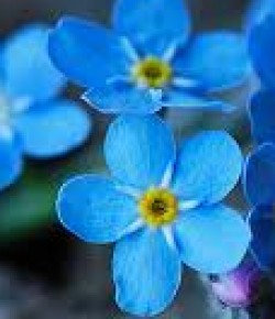 cropped-forget-me-not-too.jpg